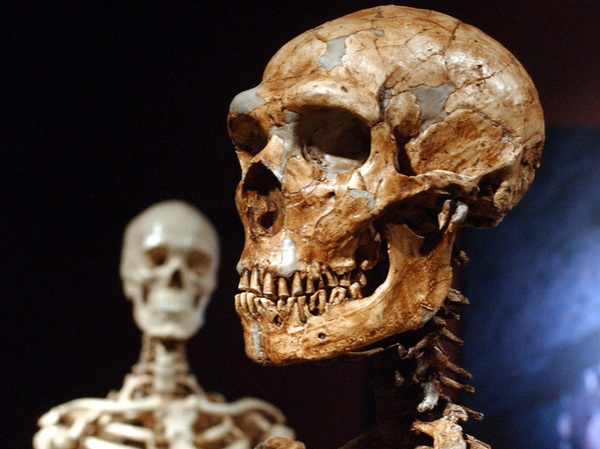 A reconstructed Neanderthal skeleton (right) and a modern-human version of a skeleton are displayed at the American Museum of Natural History in New York in 2003. A new study confirms that early humans who lived in colder places adapted to have larger bodies.
