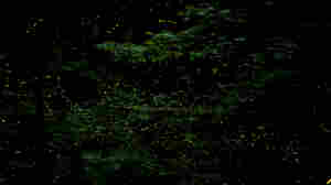 Firefly Light Shows Don't Just Dazzle. Swarms Can Also Synchronize Their Flashes