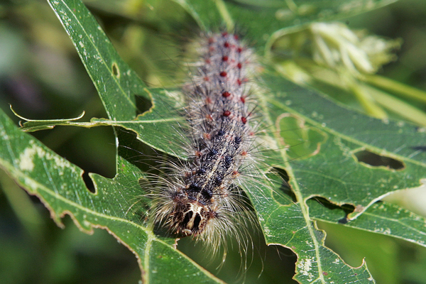 A Lymantria dispar moth caterpillar pictured in 2007 in New Jersey Scientists call them serious pests and a threat to North American forests