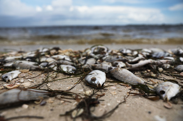 Fish are seen washed ashore at the Sanibel Causeway after dying in a red tide in 2018 in Sanibel, Florida.