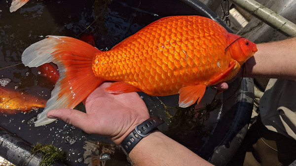 Large goldfish, released by pet owners into bodies of water, are contributing to poor water quality in some lakes and ponds in Minnesota.