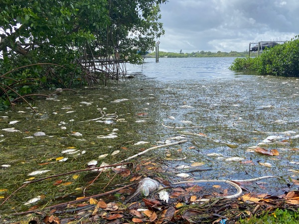 Dead fish and eels killed by a red tide in the Tampa Bay area collect in St. Petersburg, Florida.