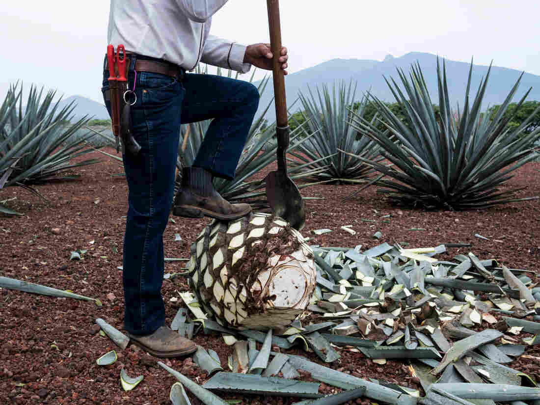 A Jimador, agave field worker, uses a coa de jima tool to cut the leaves off a blue agave during harvesting.