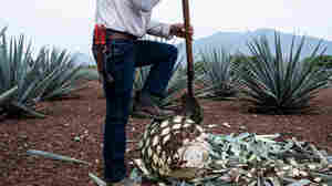 The Tequila Boom And Agave Bust