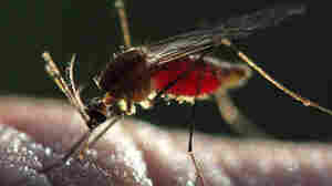 How An Altered Strand Of DNA Can Cause Malaria-Spreading Mosquitoes To Self-Destruct