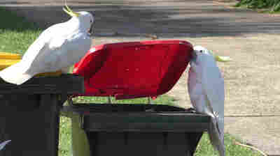 Oh Flock! Clever Cockatoos Are More Culturally Complex Than We Thought