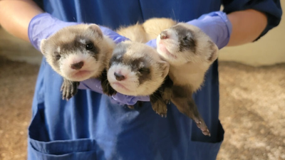 Three Adorable Baby Ferrets At A National Zoo Facility Now Have Names