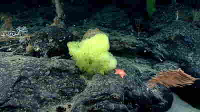 A Research Vessel Found SpongeBob Lookalikes A Mile Under The Ocean's Surface