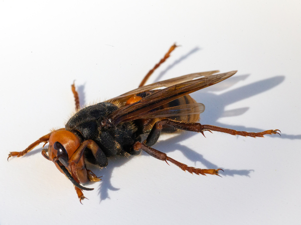 """A sample specimen of a dead Asian giant hornet, also known as a """"murder hornet,"""" from July 2020 in Bellingham, Wash."""
