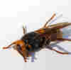 1st Live Asian Giant 'Murder Hornet' Of 2021 Spotted In Washington State