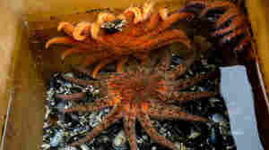 The Fight To Save Sunflower Sea Stars