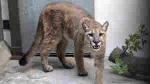 An 80-Pound Cougar Is Removed From A New York City Apartment