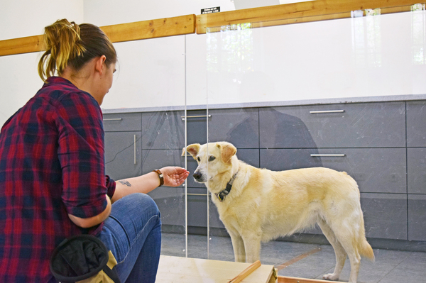 Dogs were fed several tasty treats through the gap before the experimenter started to withhold the reward in a way that looked either intentional or unintentional. In similar experiments with chimps, the apes angrily pounded on the glass or left the experiment in a huff when the treats were deliberately denied them.