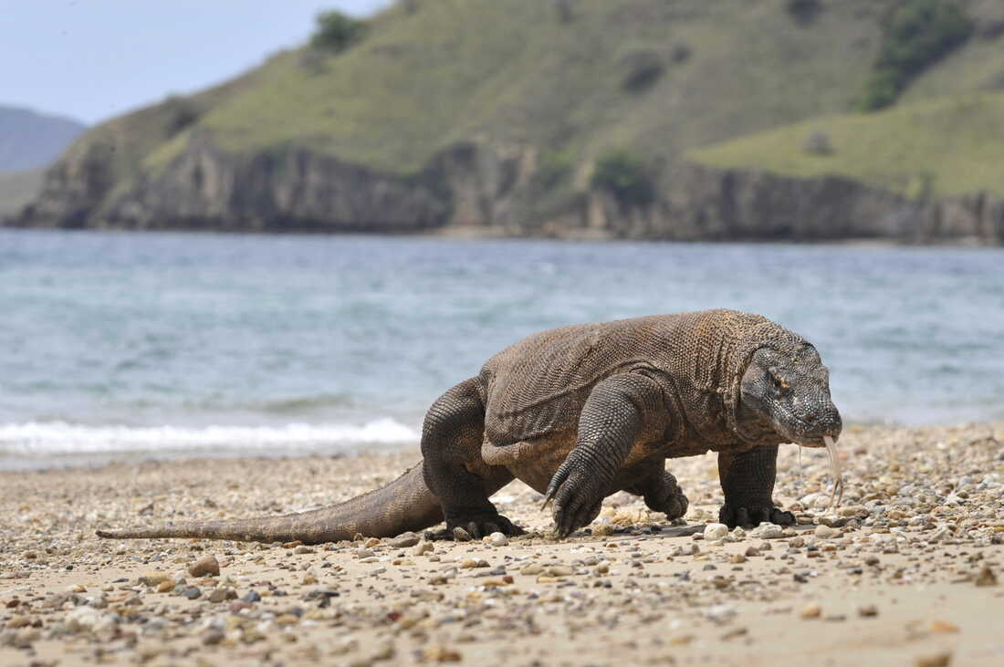 Komodo dragons threatened by climate change, report says: NPR