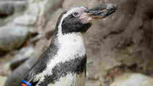 Mochica, One Of The World's Oldest Penguins, Dies At 31
