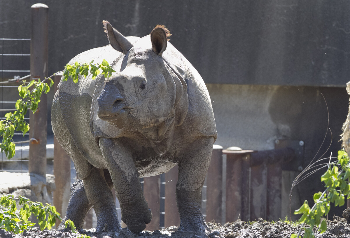 Rhinoceros escapes pen at Omaha Zoo, prompting Code: NPR red alert