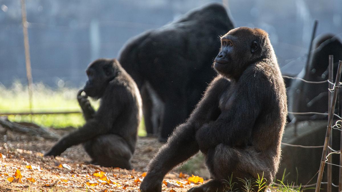 Atlanta Gorilla Contract COVID: NPR