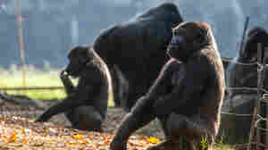 Gorillas At Atlanta's Zoo Have Contracted COVID, Probably From A Zoo Worker