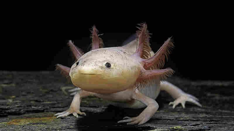 A Lotl Love For The Axolotl