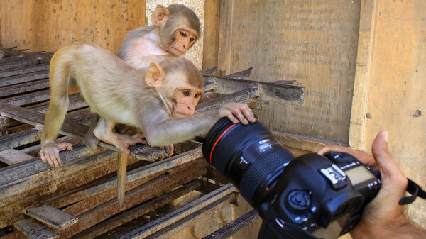 Macaques check out a camera in Galtaji Temple in Jaipur, India. Monkeys have been known to sneak into swimming pools, courts and even the halls of India's Parliament. One attorney told author Mary Roach about a macaque that infiltrated a medical institute and began pulling out patient IVs.
