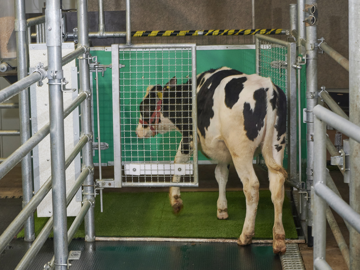 Scientists have trained cows to pee, which could help the environment: NPR