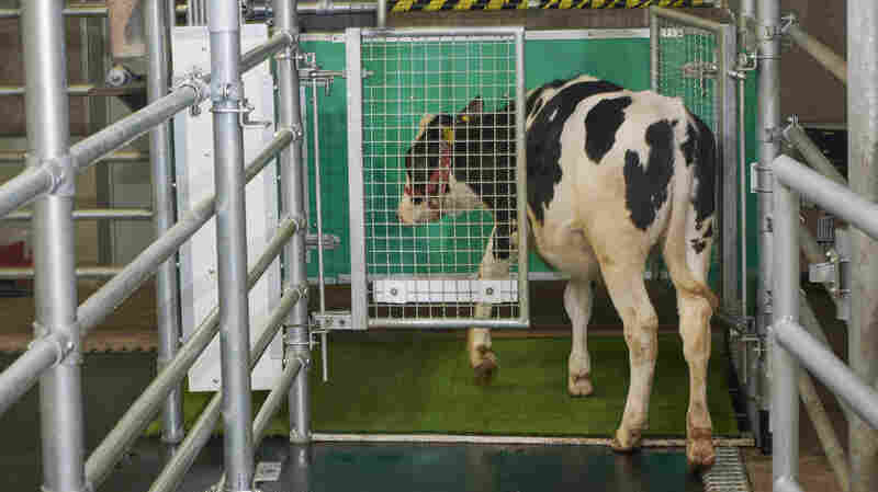 Scientists Trained Cows Where To Pee. It Could Help The Environment