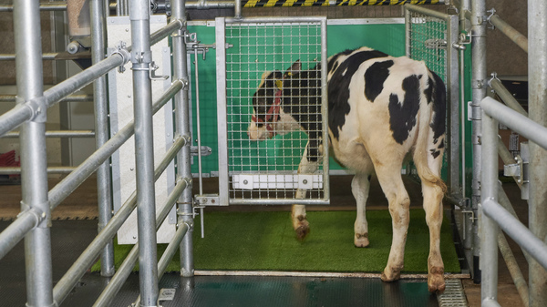 """In this undated photo provided by the Research Institute for Farm Animal Biology in Dummerstorf, Germany, a calf enters a """"MooLoo"""" pen to urinate."""