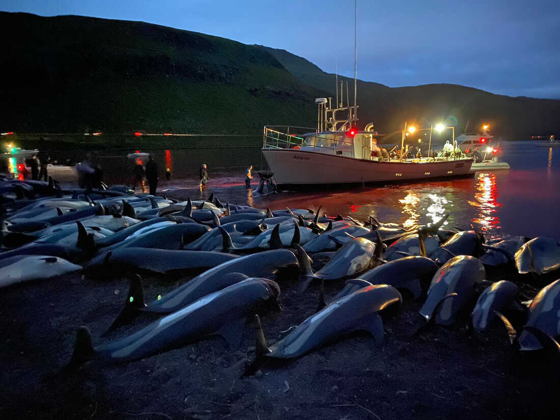1,428 dolphins were slaughtered as part of an island tradition: NPR