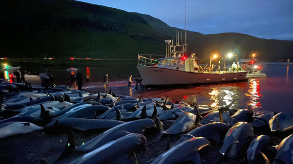 In this image released by Sea Shepherd Conservation Society, the carcasses of dead white-sided dolphins lay on a beach Sunday after being pulled from the water on the island of Eysturoy, which is part of the Faeroe Islands.