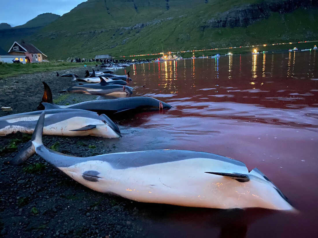 1,428 dolphins were killed as part of an island tradition: NPR