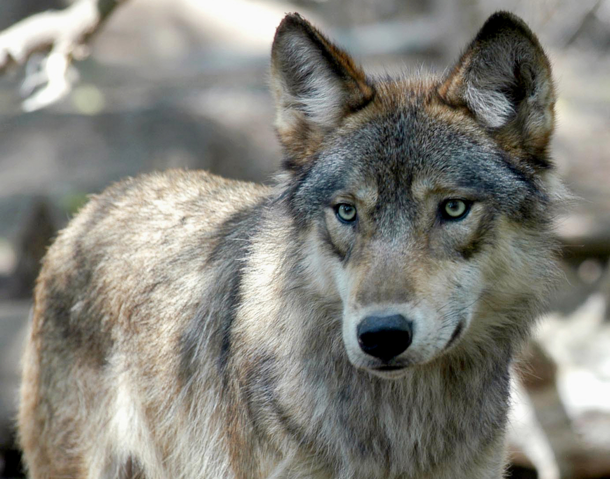 Native American tribes seek emergency protection for gray wolves: NPR