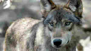 Biden Administration Says Wolves May Need Protections After States Expand Hunting