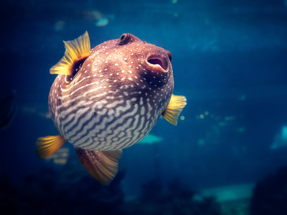Various types of pufferfish are among those served as the gastronomic delicacy fugu. The paralyzing nerve toxin some of these fish contain is also under study by brain scientists hunting new ways to treat amblyopia. (shan.shihan/Getty Images)
