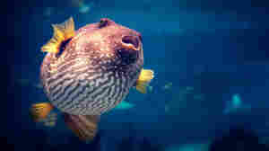 Pufferfish Toxin Holds Clues To Treating 'Lazy Eye' In Adults