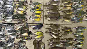 Hundreds Of Dead Migratory Birds In New York City Prompt Calls For Dimming Lights
