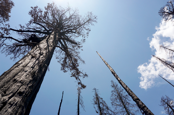 The 2020 Castle Fire burned the Alder Creek sequoia grove with extreme intensity, killing many of the 1,000-year-old trees there. Without any green foliage, the trees can't survive or resprout.