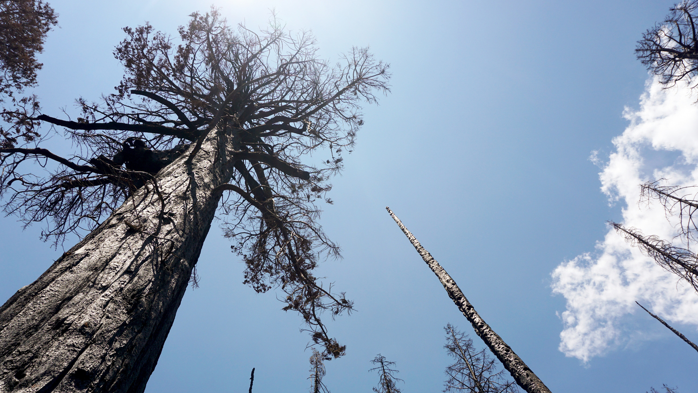 A Single Fire Killed Thousands Of Sequoias. Scientists Are Racing To Save The Rest