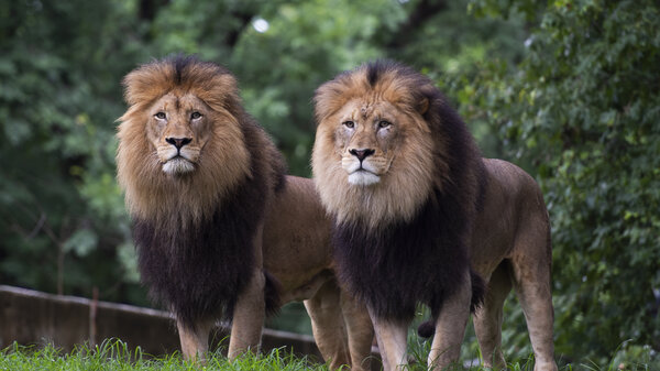 Lions watch visitors from their enclosure at the Smithsonian National Zoo in Washington, D.C. on the day it reopened July 24, 2020, after it being closed due to the pandemic in March 2020.