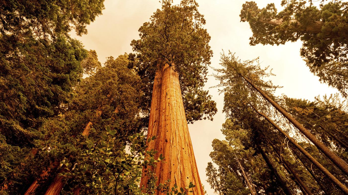 California Wildfires Make A Run Toward A Giant Sequoia Grove