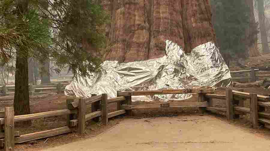 Here's Why Firefighters Are Wrapping Sequoia Trees In Aluminum Blankets