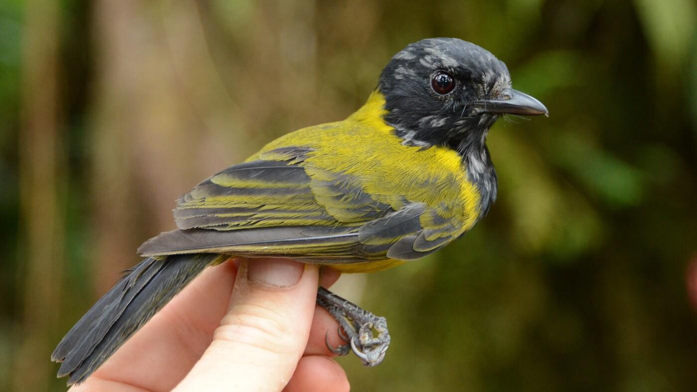 Bougainville Birds Provide A 100-Year Baseline For Biodiversity : Short Wave - NPR
