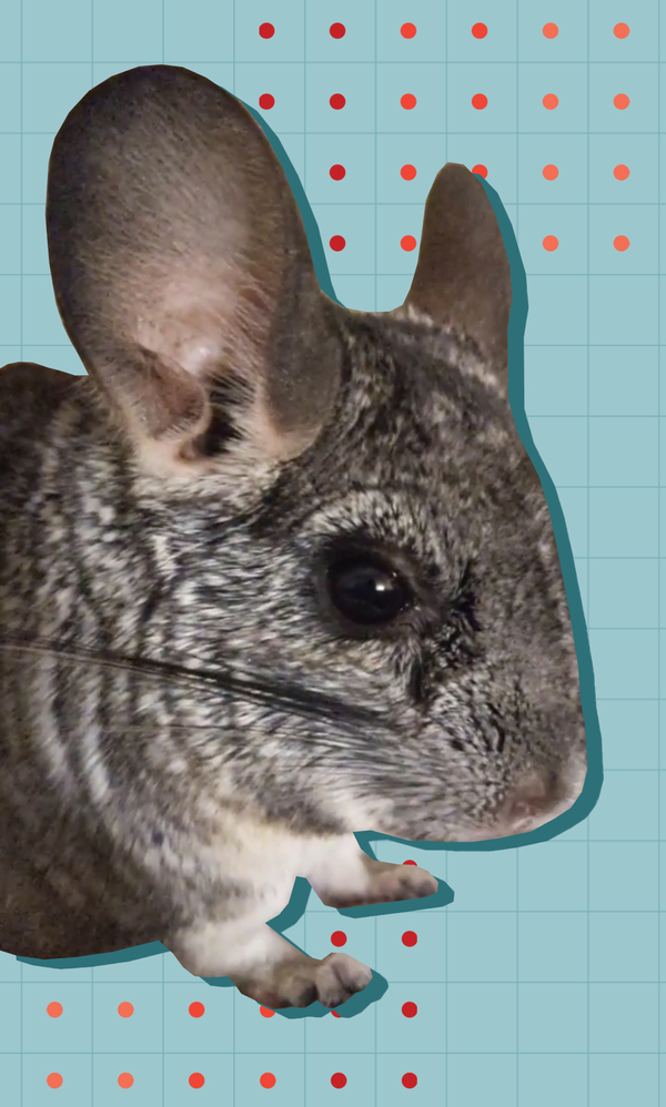 A pet chinchilla, Dumptruck, helped Devon Price realize that you don't have to be productive to earn the right to exist.