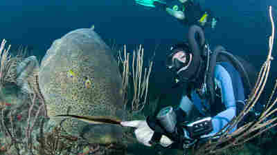 Florida Wants To Give Fishermen Another Go At The Great Big Goliath Grouper