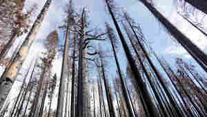 Scientists Are Racing To Save Sequoias