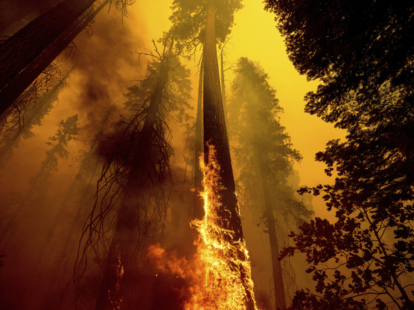 Flames burn up a giant tree as part of the Windy Fire in the Trail of 100 Giants grove in Sequoia National Forest, Calif. Children in younger generations will experience two to seven times more extreme climate events like wildfires, a new study says.