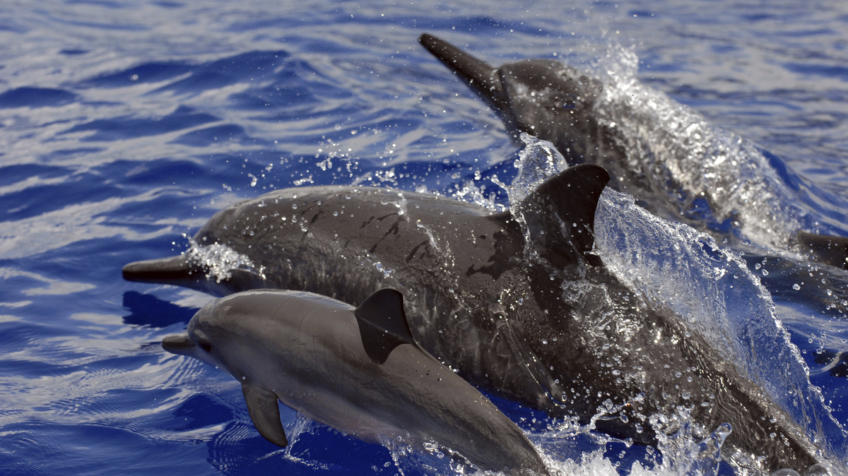 Swimming with Hawaiian long-beaked dolphins prohibited to protect animals: NPR