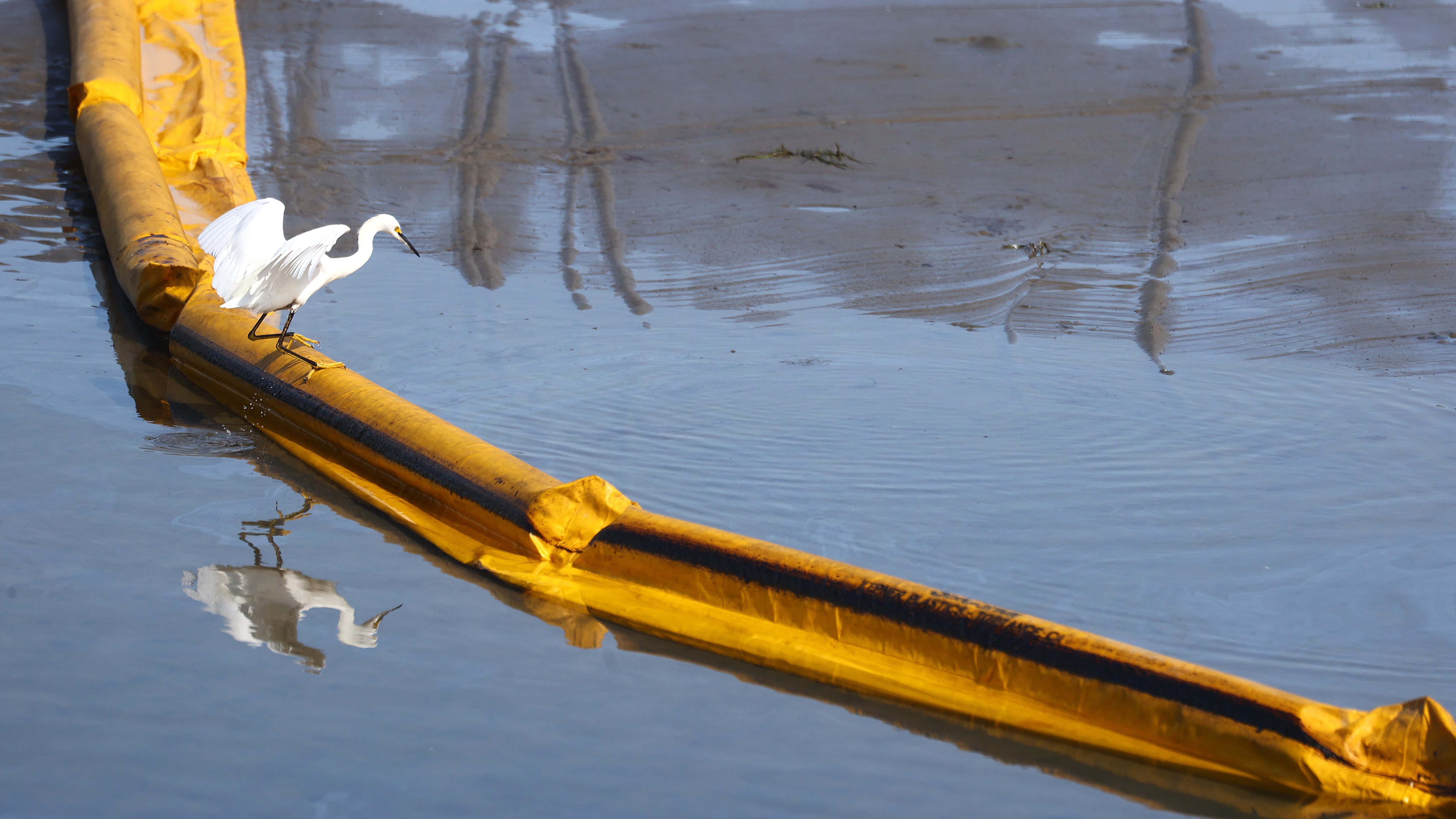 A bird balances on a temporary floating barrier used to contain oil that seeped into Talbert Marsh, home to about 90 bird species, after a 126,000-gallon oil spill off the coast of Huntington Beach, Calif., over the weekend.