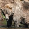 Fat Bear Week has a champion: All hail 480 Otis