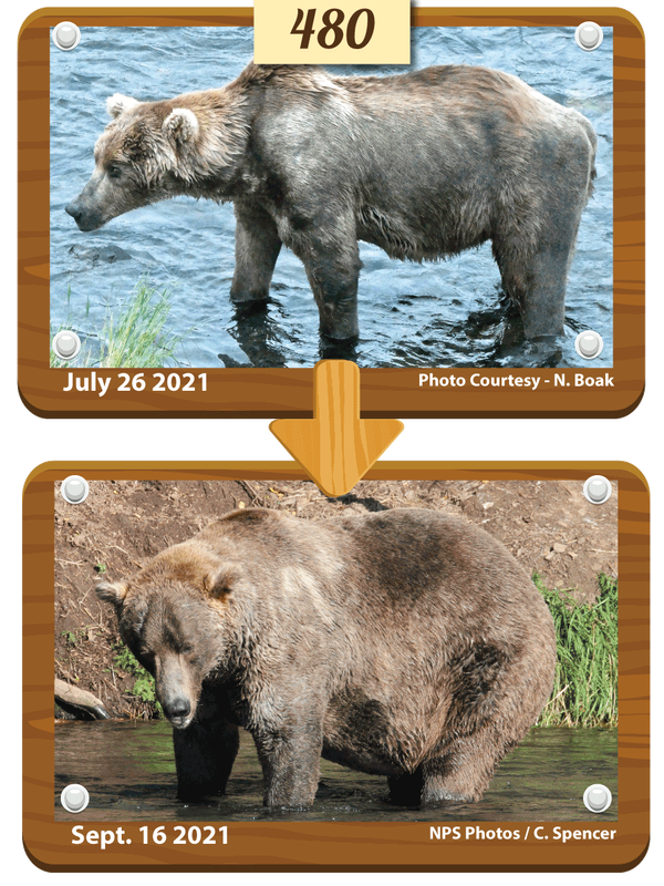480 Otis, who is believed to be around 25 years old, emerged from hibernation looking very thin and facing health problems. But he deftly navigated both inter-bear relationships and a salmon-rich river to put on much-needed weight.