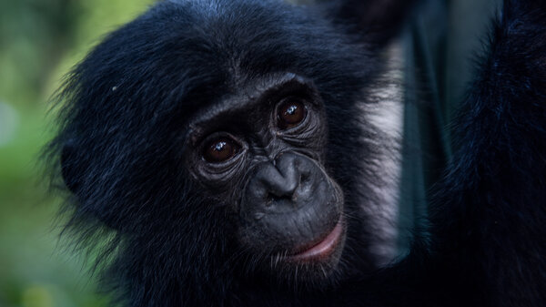 Sake, a three year old Bonobo at the Lola's Sanctuary.